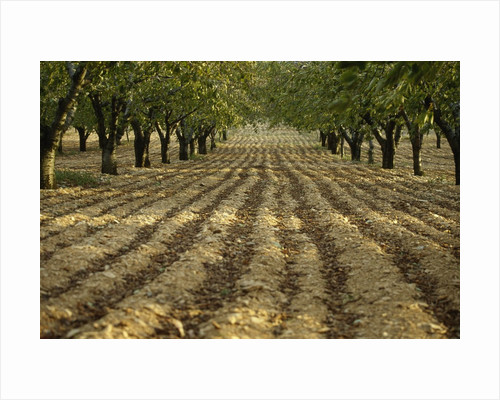Orchard by Corbis