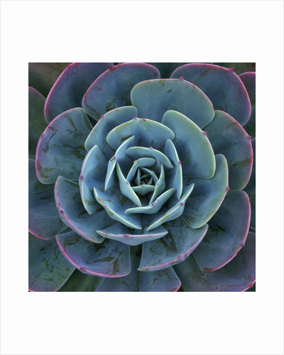Hens and Chicks Plant by Corbis