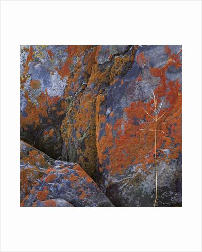 Red Lichen on Rocks by Corbis