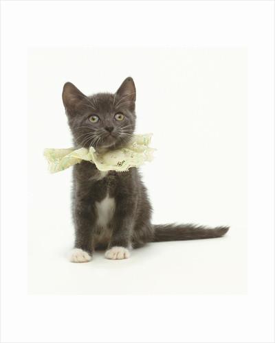 Kitten Wearing Lace Collar by Corbis
