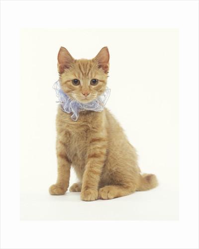 Ginger Kitten Wearing Fancy Collar by Corbis
