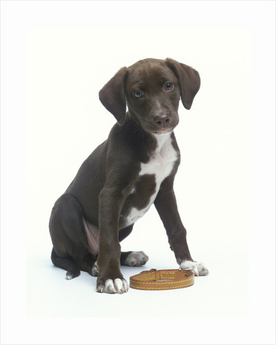 Mixed-Breed Puppy Sitting by Collar by Corbis