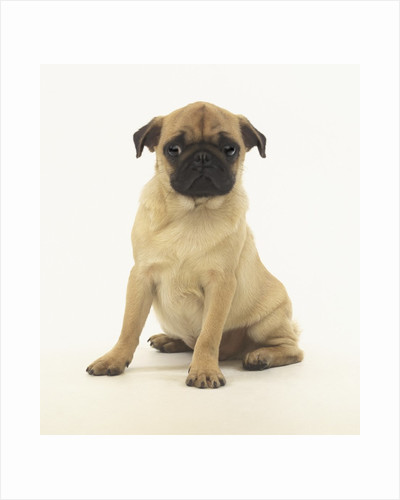 Worried Pug Puppy by Corbis