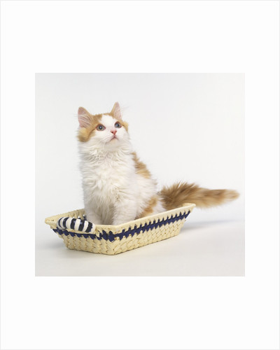 Ginger and White Kitten Sitting in Basket by Corbis