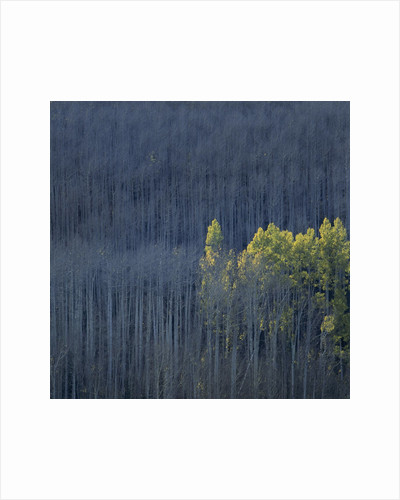 Dying Trees in Forest by Corbis