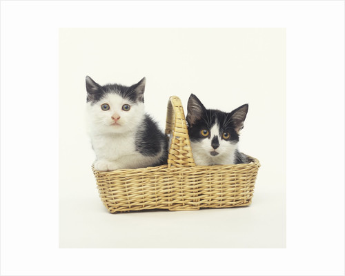 Two Black and White Kittens Sitting in a Basket by Corbis