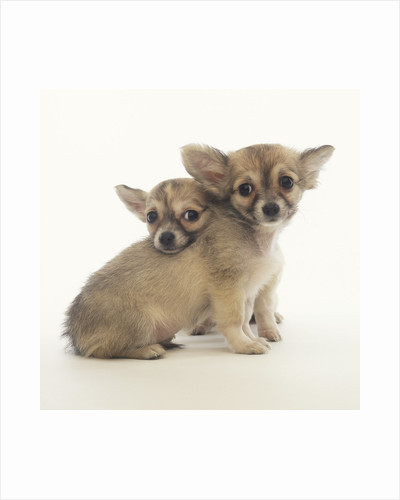 2 Long-Haired Chihuahuas by Corbis