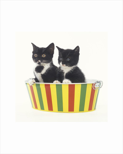 Two Black and White Kittens Sitting in a Striped Bucket by Corbis