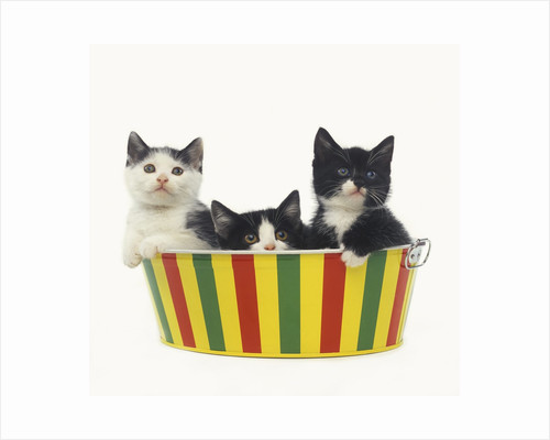 Three Black and White Kittens Sitting in a Striped Bucket by Corbis