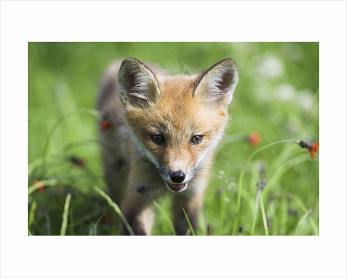 Red Fox Pup by Corbis