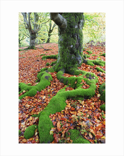 Moss Covered Roots Surrounded by Leaves by Corbis