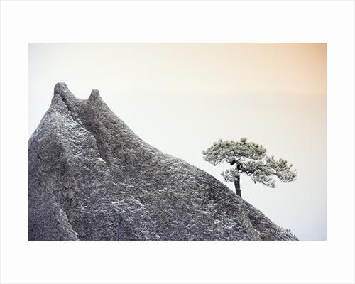 Pine Tree Growing on Mountain by Corbis