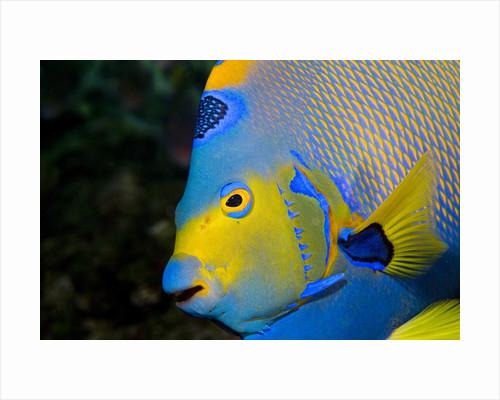 Queen Angelfish (Holacanthus Ciliaris) by Corbis
