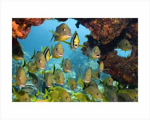 Schooling Fish Under Coral Ledge by Corbis