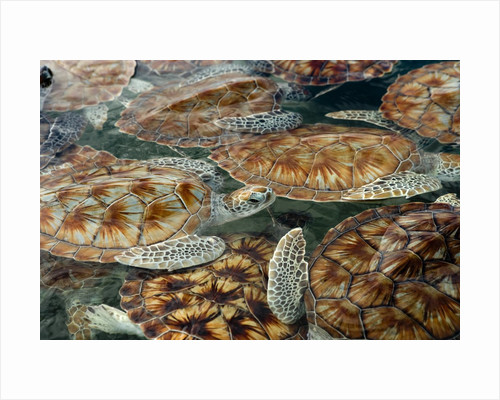 Juvenile Green Turtles in Captivity by Corbis