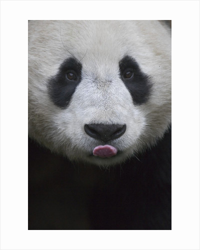 Giant Panda by Corbis