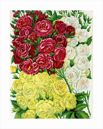 Illustration of Red, White and Yellow Rambling Roses by Corbis