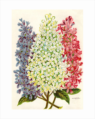 Illustration of Pink, White and Lavender Lilac Blooms by Corbis