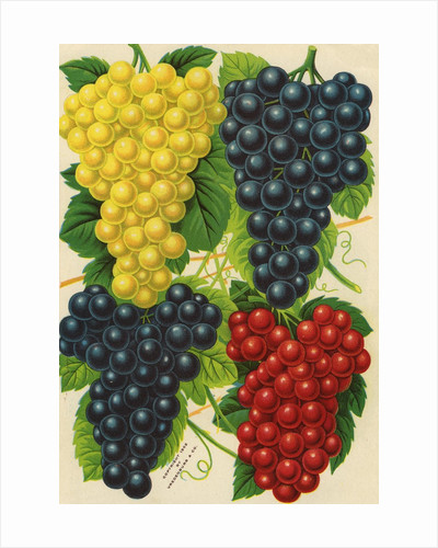 Illustration of Red, Yellow and Purple Grape Clusters by Corbis