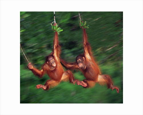 Two Young Orangutans Swinging Past by Corbis