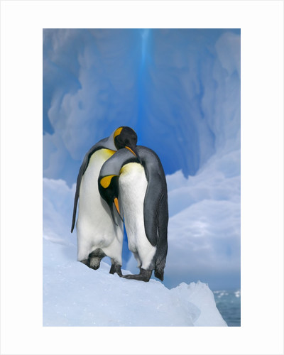 King Penguins Courting by Corbis