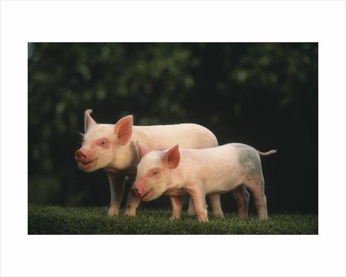 Yorkshire Piglets by Corbis