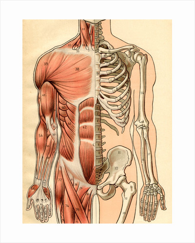 Illustration of Muscles and Skeleton of the Human Torso, Front by Maurice Dessertenne
