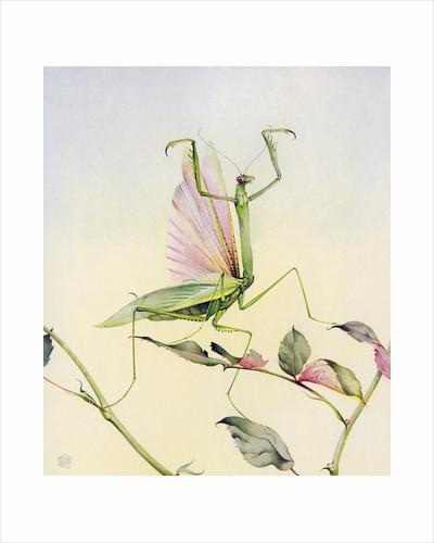 Illustration of Praying Mantis by Edward Julius Detmold