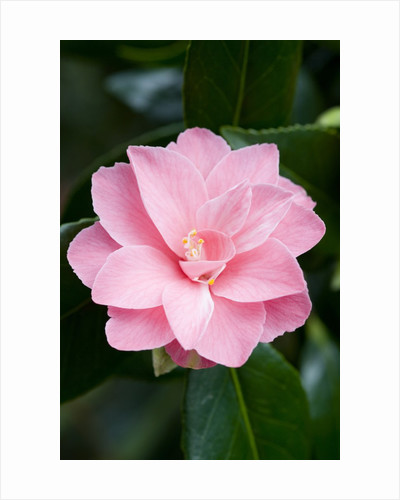 Camellia x williamsii 'Billie McCaskell' by Corbis