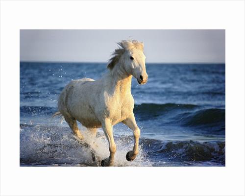 Wild Camargue Horse Running on Beach by Corbis