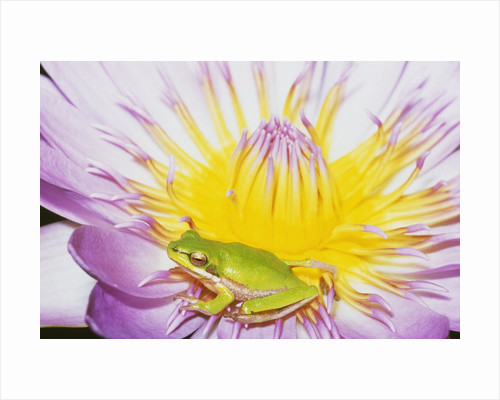 Eastern Dwarf Tree Frog on Blossoming Water Lily by Corbis