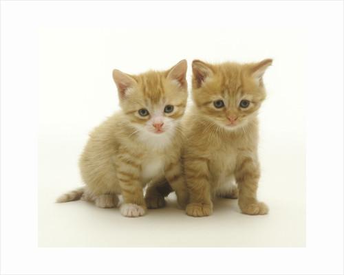Six Week Old Yellow Kitten Siblings by Corbis