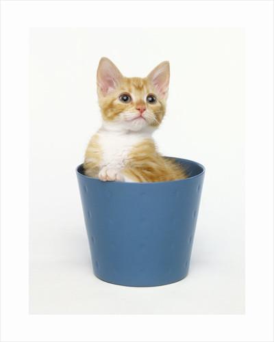 Orange and White Kitten in Flower Pot by Corbis