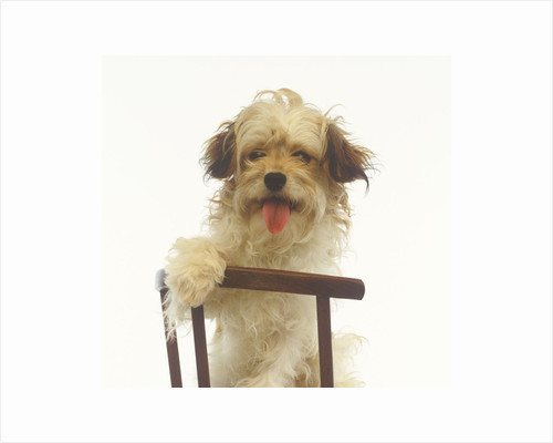 Puppy on Chair by Corbis