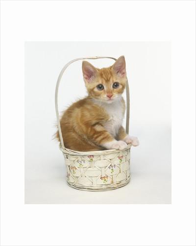 Orange and White Kitten in Basket by Corbis