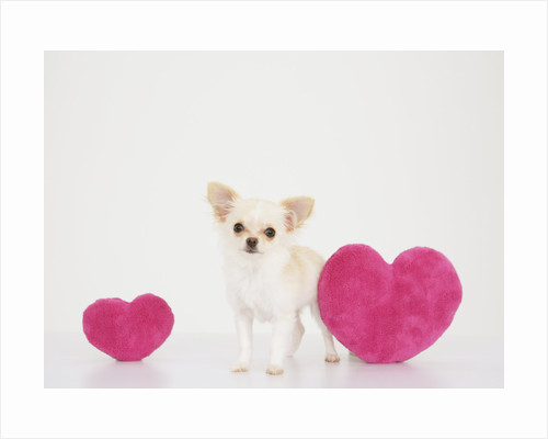 Chihuahua With Heart-shaped Cushions by Corbis