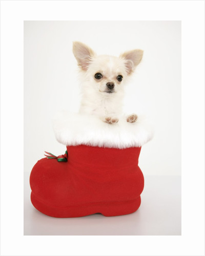 Chihuahua in Christmas Stocking by Corbis