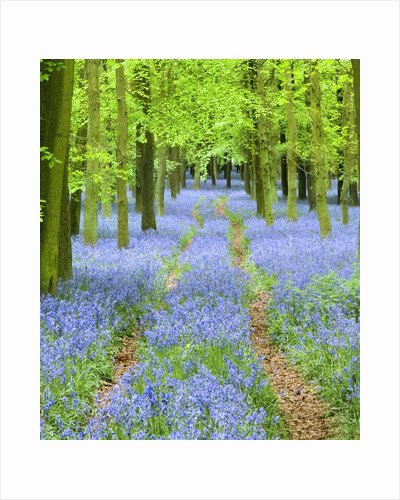 Path and Bluebells in Forest by Corbis