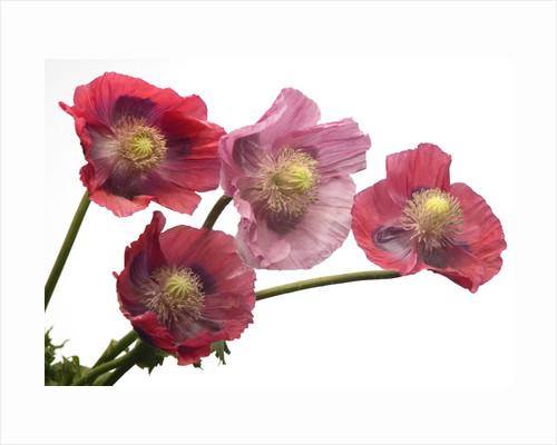 Pink Poppy Flowers in Full Bloom by Corbis