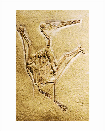 Cast of a Short-Tailed Pterosaur by Corbis