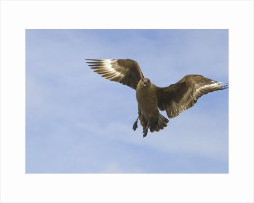 Brown Skua in Flight by Corbis