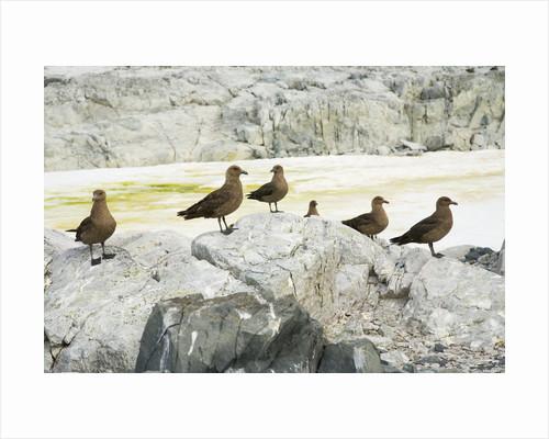 Brown Skuas Standing on Rocks by Corbis
