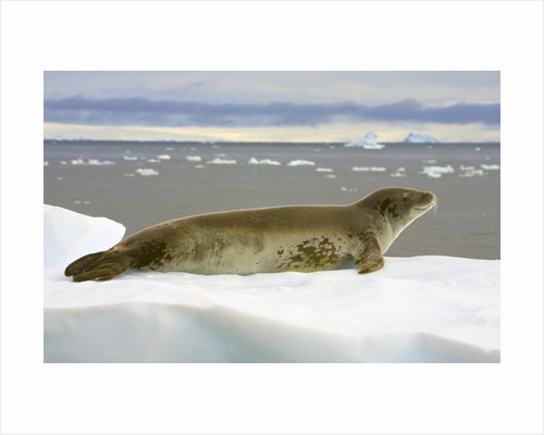 Leopard Seal Resting on Ice by Corbis