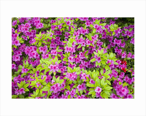 Azaleas in Bloom by Corbis