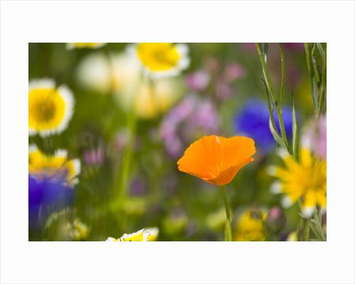 California Poppy Among Wildflowers by Corbis