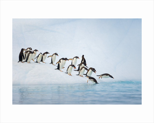 Gentoo Penguins Jumping Off Iceberg into Gerlache Strait by Corbis