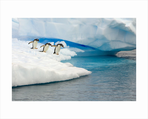 Gentoo Penguins Contemplating Jumping into Gerlache Strait by Corbis