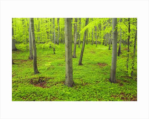 Beech Forest by Corbis