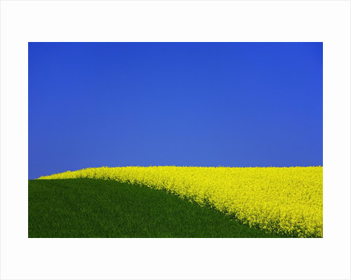 Blooming Rape Plant Field by Corbis