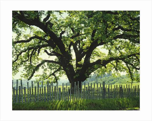 Coast Live Oak, Sonoma Coast by Corbis